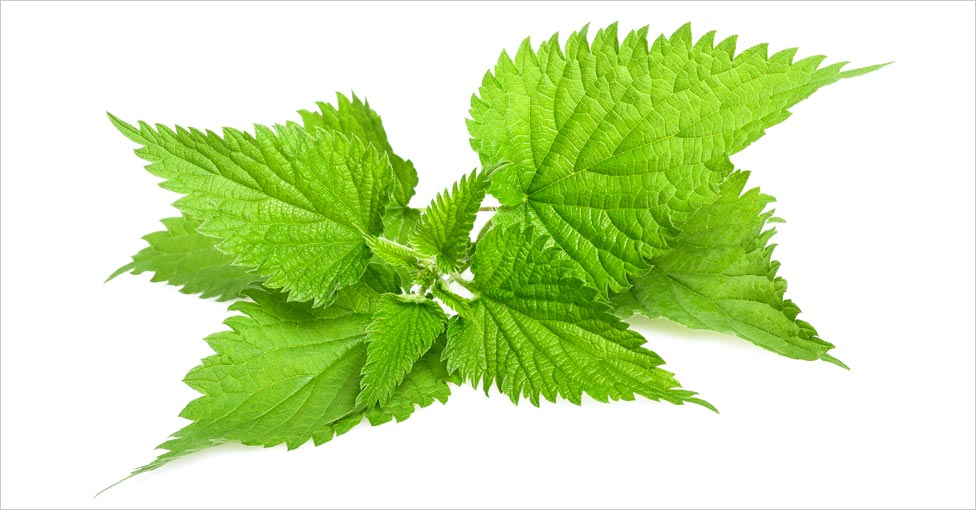nettle extract for hair